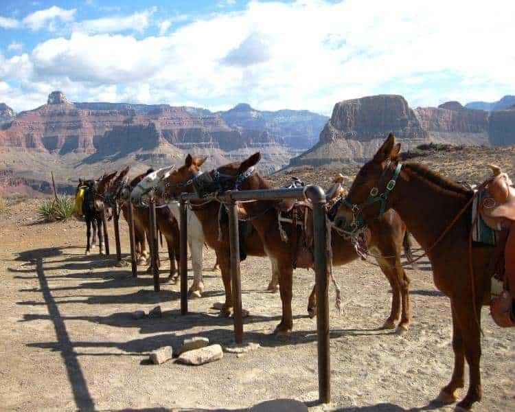 mule grand canyon