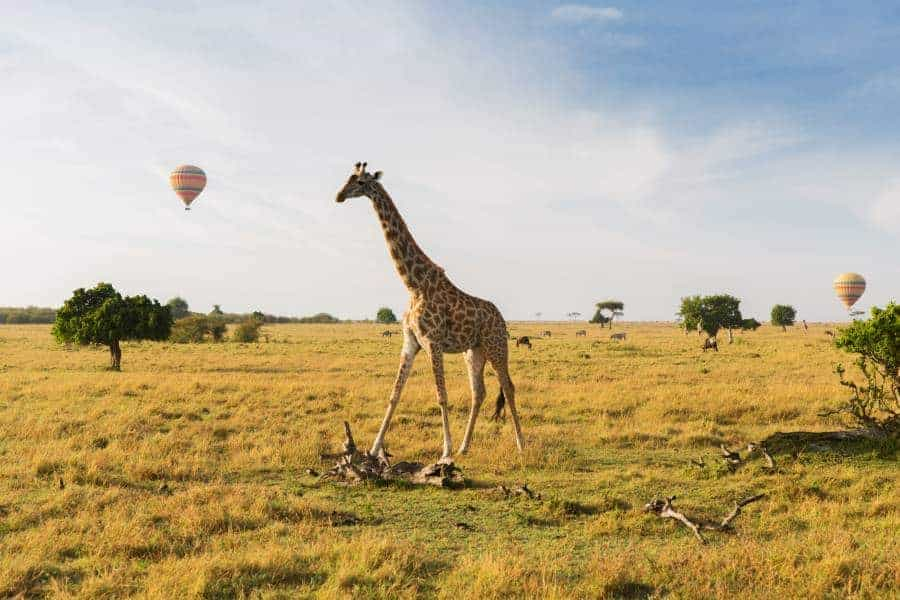 animal, nature and wildlife concept - giraffe and air balloons flying in maasai mara national reserve savannah at africa