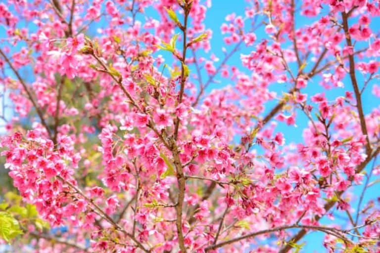 Beautiful pink Sakura flower blooming on blue sky background