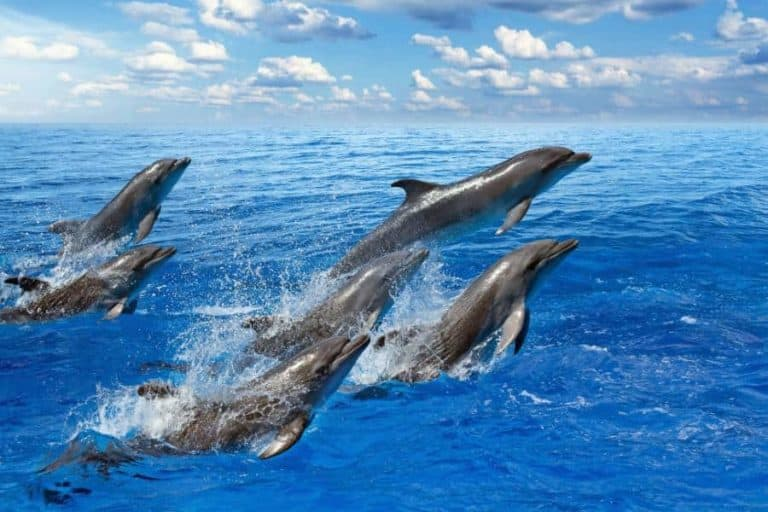 Jumping dolphins, blue sea and sky, white clouds hawaii
