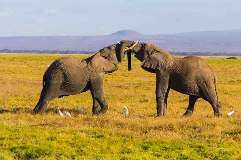 elephants fighting in a game reserve