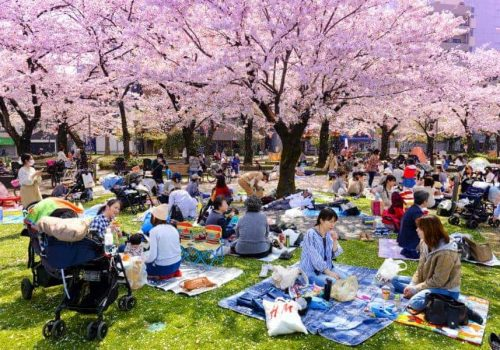 Hanami and cherry blossom trees