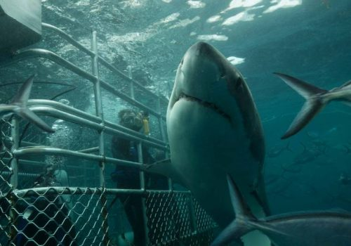 Port Lincoln great white shark